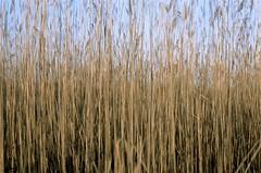 (Pheral Lamb) Tags: blue sky film grass reeds gold newjersey december fuji doubleexposure dunes grain multipleexposure jerseyshore expiredfilm 28105 islandbeach nikonf4 reala100