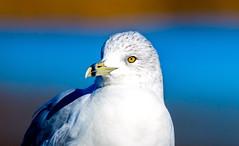 Seagull (cj13822) Tags: lake bird water pond gull birding feather l 70300mm birder lakefront canon7dmarkii