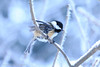A Chickadee's Snow Dance (P & Y Photography) Tags: nature animal bird tit mésange mésangeàtêtenoire schwarzkopfmeise blackcappedchickadee chickadee blue ice cold snow winter branches tree bokeh cristal yellow white outdoors forest montreal québec canada shake wings feathers motion blur agitated energized artistic solitude montroyal december dance wild wildlife wilderness pastel soft