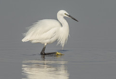 DSC7345  Little Egret.. (jefflack Wildlife&Nature) Tags: littleegret egret egrets birds avian animal wildlife wildbirds waterbirds wetlands waders estuaries estuary countryside coastalbirds shorebirds seashore marshland marshes riverbirds lakes nature norfolk ngc npc