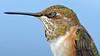 Avian Meditation (photosauraus rex) Tags: bird outdoor animal hummingbird vancouver bc canada