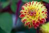 Dahlia (sviet73) Tags: fleur flower macro nature plante dahlia couleur