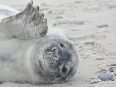 Hi ❤ (BrigitteE1) Tags: sealcub robbenbaby helgoland heligoland insel island deutschland germany seal robbe specanimal specanimalphotooftheday