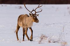 CARIBOU (Wade.J.) Tags: caribou woodland newfoundland hodges hills winter antler antlers buck bull wildlife animal rack forage forest