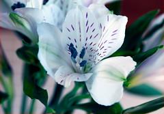 Almost etherial (Pensive glance) Tags: alstroemeria lily lilyoftheincas peruvianlily lys lysdupérou des incaslys péruvien flower fleur plant plante