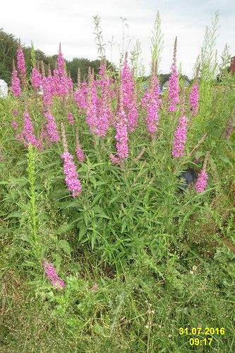 Purple loosestrife (Spess.)