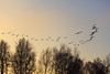 Fleeing away from a rough year - Bye Bye 2016 (P & Y Photography) Tags: nature animal bird geese goose flying sky sunrise yellow blue black tree silouhette shadow sun light bright outdoor outdoors happynewyear newyear 2016 happy new year deutschland germany ingolstadt baggersee lake danube donau canon 5diii 5d3 100400 wild wilderness 2017