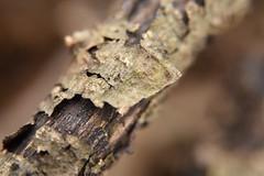 Macro Mondays: It's A-Peeling To Me (Legodude:)277) Tags: itsapeelingtome macromondays branch outdoor nature bark