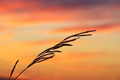 Silence (denny.weinmann) Tags: bakerwetlands wetlands sunset grass sky colorful wind sonyalpha sonyimages sel55210 on1 topazlabs lfk lawrence kansas travel explore