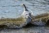 Dans la vague... (Diegojack) Tags: hiver froid préverenges vaud suisse oie klaxon vagues agitation