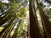 Ancient forest (Nailand) Tags: ancientforest trees california usa nature