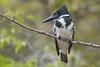 Amazon Kingfisher (Tim Melling) Tags: chloroceryle amazona amazon green kingfisher pantanal brazil timmelling