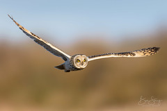 Silent and Deadly (benstaceyphotography) Tags: shortearedowl owl bird prey flying wings sunlight evening hunting predator marsh fields sky wildlife springwatch winter migrant nomad nomadic influx eyes stare nikon ben stacey d800e 500f4 creature