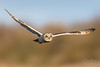 Silent and Deadly (benstaceyphotography) Tags: shorteared owl bird prey flying wings sunlight evening hunting predator marsh fields sky wildlife springwatch winter migrant nomad nomadic influx eyes stare nikon ben stacey d800e 500f4 creature
