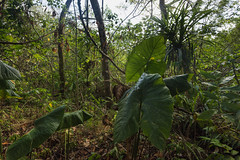 Giant Leaves (MrBlackSun +5 Million Views, thank youMillion) Tags: yap micronesia nikon d11 jungle walk