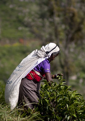 Picker in purple (David Rosen Photography) Tags: srilanka tea picker teapicker travel culture people holiday asia worker woman