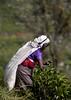 Picker in purple (www.davidrosenphotography.com) Tags: srilanka tea picker teapicker travel culture people holiday asia worker woman