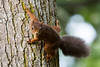 Red Squirrel Clinging On (Barbara Evans 7) Tags: red squirrel clinging on cairngorms scotland barbara evans7