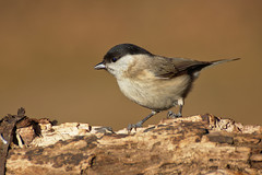 Cincia bigia (AIIex) Tags: cincia nikon d7100 tamron 70300 darktable opensource wild life wood bosco bird uccello animal