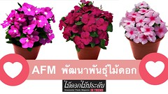 AFM ผู้นำแห่งการพัฒนาพันธุ์ไม้ดอก 🌸 ต้านโรค ดอกดก ปลูกได้ทั้งปี