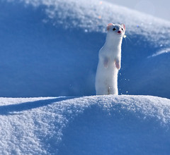 Ermine in the Snow (Aubrey Stoll) Tags: ermine animal snow fast whiskers nose white fur yellowstone america ynp usa travel ice crystals cold freezing subzero winter sun diamondice nature outdoors ears lamarvalley wildlife stoat shorttailedweasel