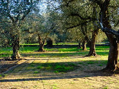 under the olive trees (giuseppedellifiori) Tags: allnaturesparadise greatphotographer