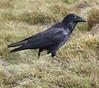 Forest Raven (jpotto) Tags: australia tasmania birds bird raven corvid forestraven