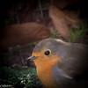 Portrait. (Crilion43) Tags: réflex france véreaux divers paysage nature rougegorge jardin centre oiseaux canon objectif tamron 1200d cher bleue brouillard charbonnière herbe mésange