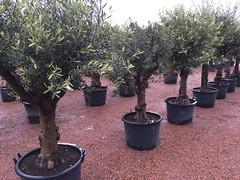 IMG_1670 (palmexpert_plants) Tags: olea europaea lechin leccini lechinno olijfboomspecialist palmexpert olijfbomen olivenbaum viveros elche finca شجرة الزيتون dubai quatar оливковое дерево olivträd маслинено дърво 橄欖樹 オリーブの木