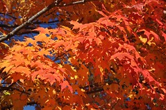Inferno (cmu chem prof) Tags: mountpleasant isabellacounty michigan autumn fallcolor mapletree circularpolarizer
