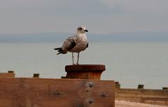 IMG_3704 (TheMrsMiggins) Tags: seaside seagull groin sea