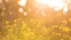 Mustardplant (asifshifat) Tags: mustard mustardplant yellow flower flowers color travel light nature