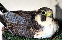 (59) Liberty's Owl Raptor & Reptile Centre