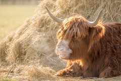The Dragon cow... (AnthonyCNeill) Tags: scottish highland cattle cow animal vache vaca farm outdoor countryside campo colour color cold breath steam hay grass nikon d750 zoom lens 70200mm focalpoint focus pov dof depthoffield winter wintry alone lying horns longhair hair hairy light lighting sunlight solitary schottischehochlandrinder tier