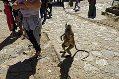 _DSC2458_DxO (Alexandre Dolique) Tags: d810 inde udaipur rajasthan kumbhalgarh fort kumbalgar singe monkey attaque attack india