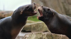 TRATSCH/CHIT-CHAT (babsbaron) Tags: robbe seal mähnenrobbe zoo natur tier animals meer bremerhaven