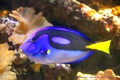 Finding Dory...... (law_keven) Tags: fish regal tang regaltang bristol bristolaquarium aquarium england uk dory findingdory