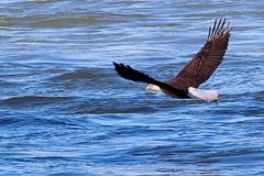 Bald Eagle Catching a Fish (Piedmont Fossil) Tags: conowingo maryland bird wildlife bald eagle haliaeetusleucocephalus flying