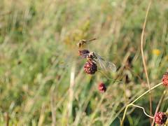 007 (Ann TS) Tags: nature природа field поле dragonfly стрекоза