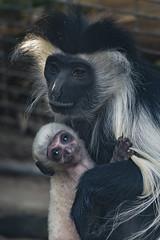 Angolan Colobus Baby (San Diego Zoo Global) Tags: sandiegozooglobal©2016 monkey babyanimals sandiego sandiegozoo colobus primates primate cute adorable baby infant angolancolobusmonkey animals nature wildlife babyanimal