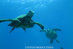 two turtles (Aaron Lynton) Tags: canon hawaii snorkel turtle dive like diving maui snorkeling turtles honu greenseaturtle g1x