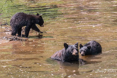 August 21, 2015 - A female Black Bear and her cubs cool down in the South Platte River. (Tony's Takes)