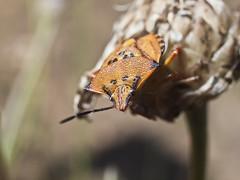 Chinche. Graphosoma creticum. (cachanico) Tags: macro closeup 35mm insect flash olympus zaragoza inseto e30 insetto insecte insecto nissin aragn daroca zd35 difusor di466 nissindi466 graphosomacreticum cachanico