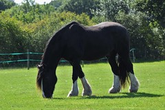 DSC_0454 - Copy (msjy81) Tags: shadow horse dog bird net clock field leaf nikon riding hay nikkor 70300mm d5300