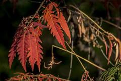 Color de otoo (seguicollar) Tags: plantas rbol vegetacin ramas nikond5200 virginiasegu
