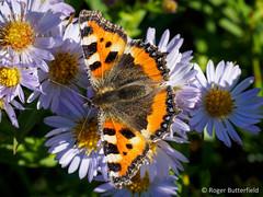 Small Tortoiseshell (Roger B.) Tags: butterfly unitedkingdom sheffield aglaisurticae smalltortoiseshell aster southyorkshire michaelmasdaisy