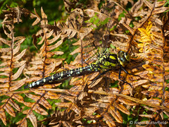 Southern Hawker (Roger B.) Tags: insect dragonfly unitedkingdom sheffield southyorkshire odonata aeshnacyanea southernhawker aeshna rocherendbrook