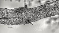 #مساء_الخير #شجرة #طلح #wood #woods #hdr #photographys #nature #bw #sonyalpha #sony #تصويري #القصيم #كشته #شعيب #الربيعية #الناس_الرايقة #الكويت #الامارات #البحرين #عمان #عرب_فوتو #goodevening  #photos #photo #ksa #saudiarabia #saudi_arabia #birdshome (Instagram x3abr twitter x3abrr) Tags: wood bw nature photo woods photos sony saudiarabia hdr كشته ksa الامارات الكويت البحرين birdshome عمان شجرة goodevening تصويري photographys sonyalpha شعيب القصيم طلح الربيعية مساءالخير عربفوتو الناسالرايقة