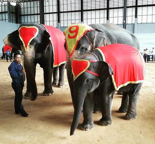 #elephant #nongnooch #pattaya #thailand