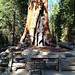 Mammutbaum Yosemite